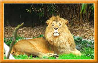 Africian Lion India