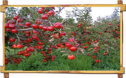 Apple Orchard in Kotagarh