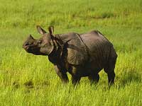 One Horned Rhino at Kaziranga National Park, Assam