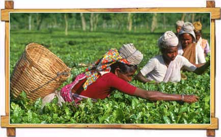 Women Plucking The Famous Three Leaves at Assam Tea Gardens