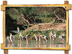 Painted Storks at Bharatpur Bird Sanctuary