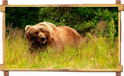 Elusive Brown Bear at Manali Sanctuary