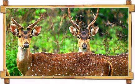 Chital at Nagarhole National Park