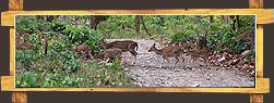 Chital Deers in Rajaji National Park