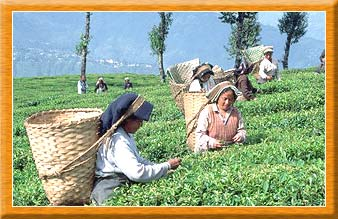 Tea Gardens at Darjeeling