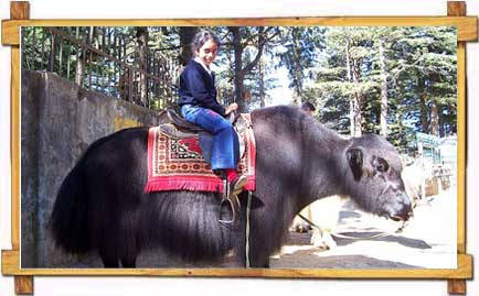 Girl On a Yak