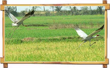 Sarus at Green Fields of Haryana