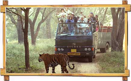 Tiger strolls past truckload of tourists, Ranthambhore wildlife park