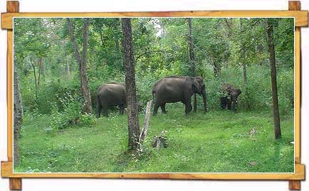 Elephants at Periyar - Kerala