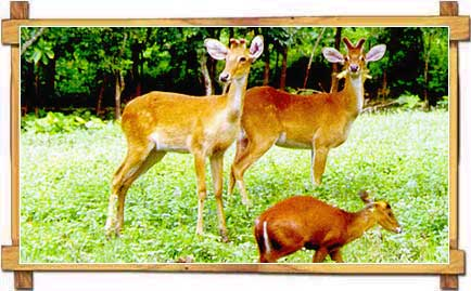 Brow Antlered Deer At Lamjao National Park, Manipur