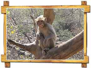 Monkey Shivpuri National Park