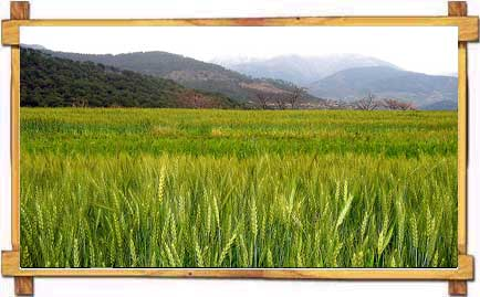 Fields in Palampur