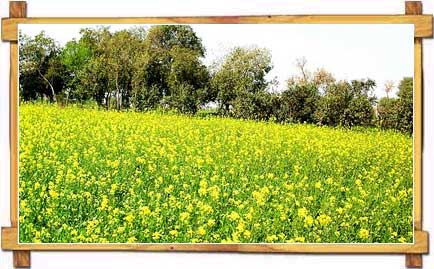 Sprawling Mustard Fields of Punjab