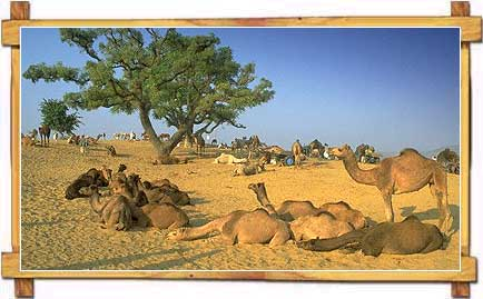 Camels in Pushkar Fair