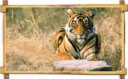 A Tiger resting in Ranthambore National Park