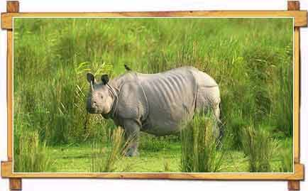 One Horned Rhino at Kaziranga National Park