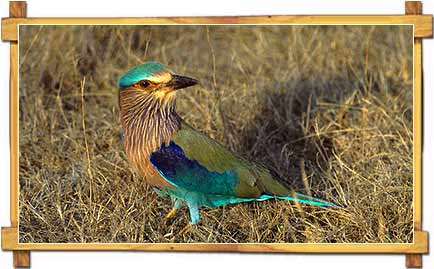 Roller in Grasses - Churu