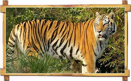Royal Bengal Tiger at Sunderbans