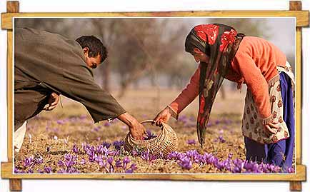 Plucking of Saffron Flower in Jammu Kashmir