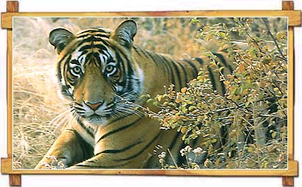 Tiger at Sariska Wildlife