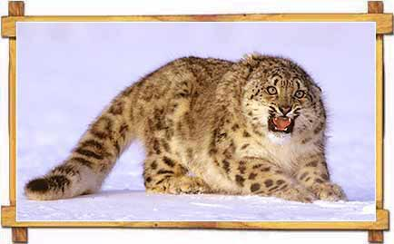 Snow Leopards Jammu Kashmir