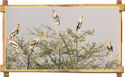 Painted Storks at Keoladeo National Park
