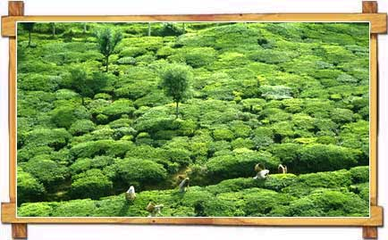 Lush Green Tea Gardens of Tamil Nadu