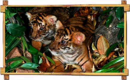 Tiger Cubs in Jim Corbett