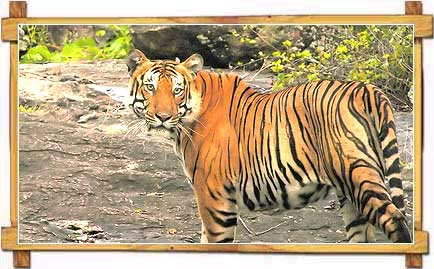 Tiger in Bandipur National Park