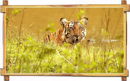 Tiger in Nagarhole National Park