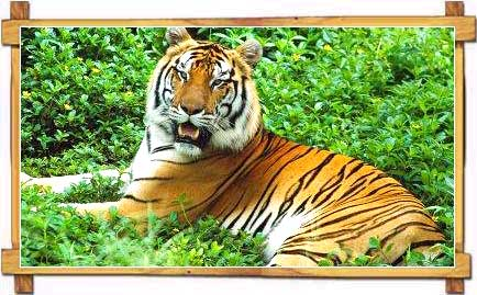 Tiger- Wayanad- Wildlife- Sanctuary - Kerala