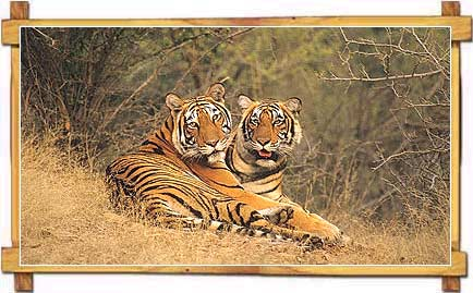 Tigers resting at Ranthambhore